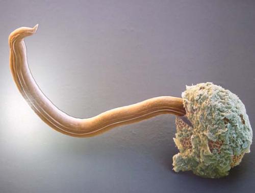 Den Welpen zerreißt von den Würmern was zu machen